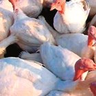 Пазете пуйките от стрес