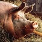Отпада забраната за движение на свине и месо в 39 индустриални ферми и 66 кланици