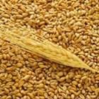 Защо министерството на земеделието на Русия ще определя квота за износ на зърно