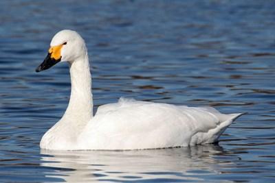 Тундров лебед СНИМКА: Уикипедия