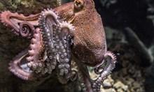 Октоподите чувстват и реагират на болка като хората