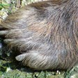 Европейските пещерни мечки вероятно са изчезнали заради големите си синуси
