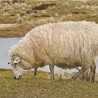 Следете овцата и козата за заразна ектима!