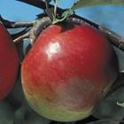 Либърти – ябълка за по-хладни райони