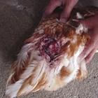 Как да предотвратите канибализма в птицефермата?