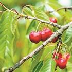 Черешовата муха е най-опасна за реколтата от късните сортове