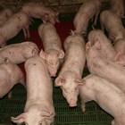 Огнище на АЧС в трети свинекомплекс на голяма румънска компания с 42 000 прасета
