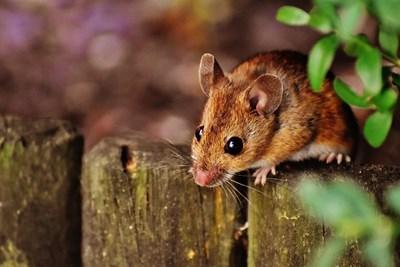 Нов експеримент лекува диабет при мишки СНИМКА: pixabay