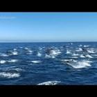 Стотици делфини се струпаха край бреговете на Южна Калифорния (Видео)