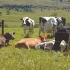 Кравите, хранени с трева, са с най-високия показател на омега-3