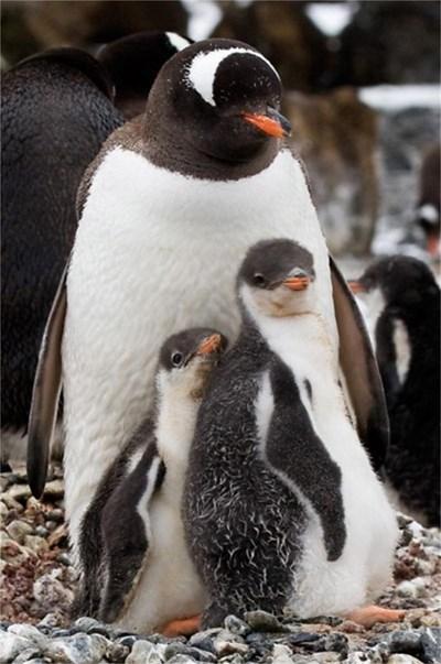 Пингвини Дженто