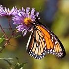 Цветът на крилата на пеперудите определя жизнеспособността им