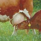 Отглеждане на теле за мляко или месо