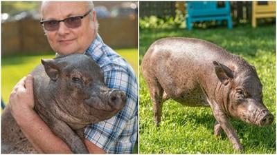 """Най-сторото прасе в света Снимки: """"Рекордите на Гинес"""""""