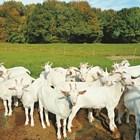 """Процъфтява глобалният пазар на """"луксозните"""" козе мляко и месо"""
