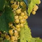 Стартира прием по 2 мерки за винопроизводители - събиране на зелено и застраховане на реколтата