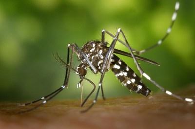 Tигровият комар има потенциал да заразява със западнонилска треска, но и с чикунгуня и други екзотични опасни инфекции. СНИМКА: Pixabay