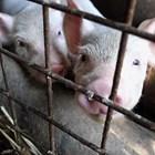 Свиневъдите ще получат 35 млн. лв. през 2021 г. за хуманно отношение към животните.