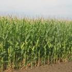 Младата царевица е подложена на стрес