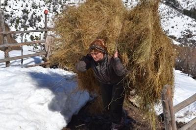 Севал Яха пренася сено през снега на повече от километър разстояние. СНИМКА: Ненко Станев