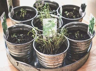 Градина: Подправки, които се отглеждат в саксии