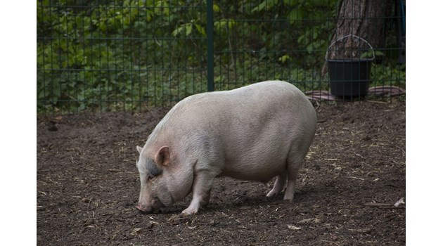 Затварят Ришкия проход заради обърнат тир с 200 прасета, търсят ги из гората