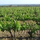 За първи път в България се отваря мярката за информиране в лозаро-винарския сектор