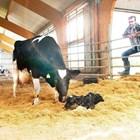 Високи възпроизводствени резултати в кравефермата може да се постигнат само при прецизно планиране