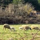 Козевъди и овцевъди получиха субсидиите си по обвързана подкрепа за Кампания 2019