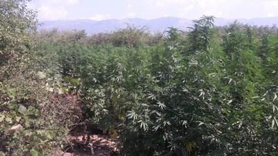 Плантацията с марихуана в село Красново.