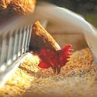 Есенни дневни дажби за кокошки
