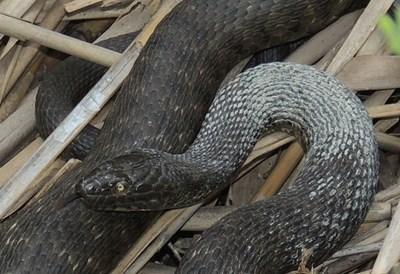 Сива водна змия. Дълга е до 120 см. Храни се основно с дребни рибки и по-рядко жаби. Среща се в цялата страна, но избягва планинските райони. Навлиза в черноморските води.