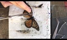 Трансплантация на крило на пеперуда