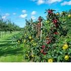 Ябълкови дървета сформировка палмета