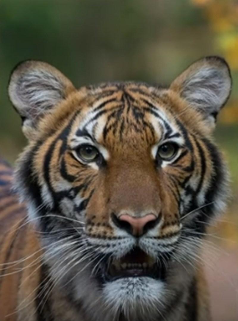 Надя, четиригодишното женско малайско тигърче КАДЪР: Youtube