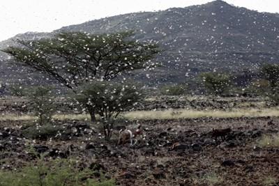 Клоните на дърветата в северния кенийски град Лодуар са оголени, без листа и поддават под тежестта на огромни ята млади скакалци СНИМКИ: Ройтерс