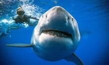 Бялата акула: разчитането на генома й – шанс за спасение  на човечеството