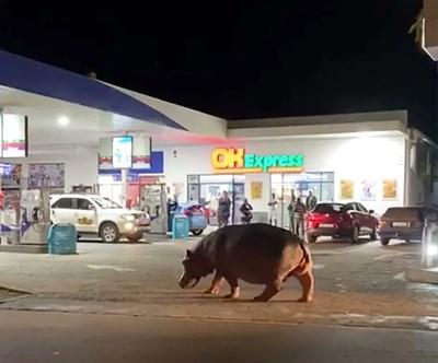 Хипопотам на наркобоса Пабло Ескобар се разхожда по улиците на Дорадал СНИМКА: Twitter/ London & U.K Crime..