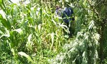 486 кг канабис открити в Петричко