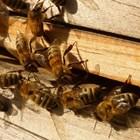 Щом пчеларят забележи, че един кошер е нападнат от крадци, трябва да намали входа му.  А ако нападателите не престанат да проникват вътре, въобще да го затвори.