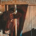 За да не купите стара или ялова крава!