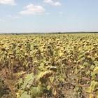 Очертава се по-слаба слънчогледова реколта
