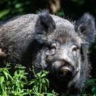 В Полша освен 1845 мъртви глигани са засегнати и четири ферми с домашни свине в Западна Полша.