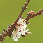 Плодните пъпки се образуват през лятото. За да се стимулира образуването им, дръвчетата трябва да са добре нахранени.