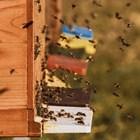 В пчелните гнезда трябва да се поставят периодично пити, в които майките да снасят. Отглеждането на повече пило до по-късен период осигурява достатъчно млади пчели, което е важно условие за нормално иззимуване.