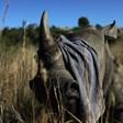 В РЮА отрязаха роговете на много носорози, за да ги предпазят от бракониери (Снимки)