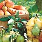 Приберете късните плодове от градините!