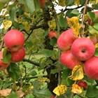 Формиране на ябълково дърво