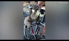 Жадна коала стопира колоездачи за вода