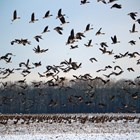 При ежегодните си миграции водоплаващите птици пренасят вируса на птичия грип Снимки: YouTube